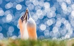 2-priroda-pticy-severnaya-olusha-olusha-trava-lyubov.jpg (240×150)