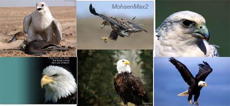 تصویر زمینه عقاب