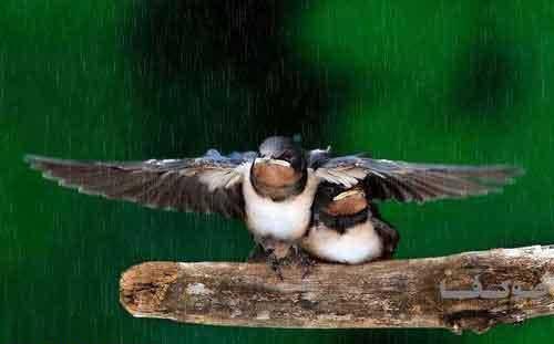 عکس جالب پرنده نر که بال هایش را روی جفتش گذاشته تا بارون خیسش نکنه