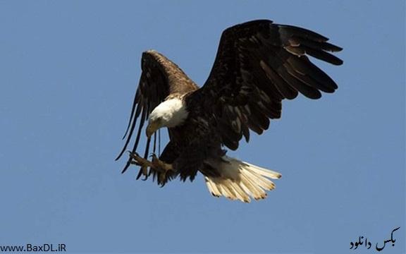 دانلود کلیپ ربوده شدن یک بچه توسط عقاب