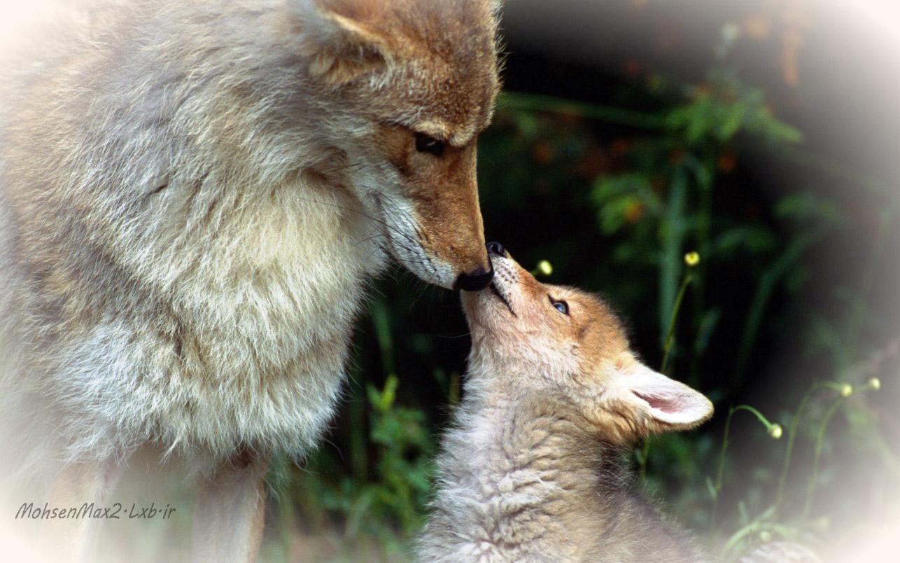 عکس بچه گرگ