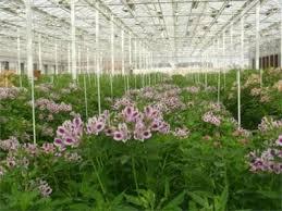 طرح توجیهی تولید و پخش و صادرات انواع گل شاخه بریده