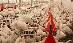 بسته آموزشی پرورش مرغ گوشتی