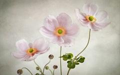 7-cvety-rozovye-fon-anemony-nezhnye.jpg (240×150)