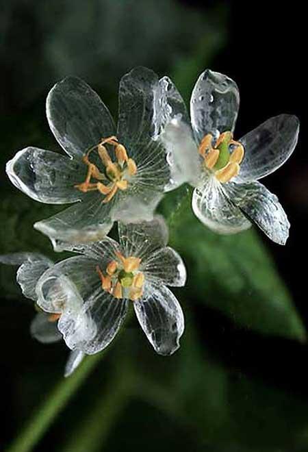 گلی با گلبرگهای شیشه مانند به نام گل اسکلتی در ژاپن